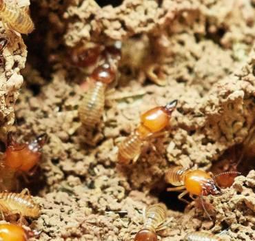 Termite Service